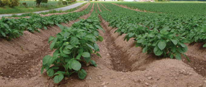 Image showing potatoes growing in a field